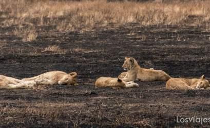 leonas en el cráter de Ngorongoro