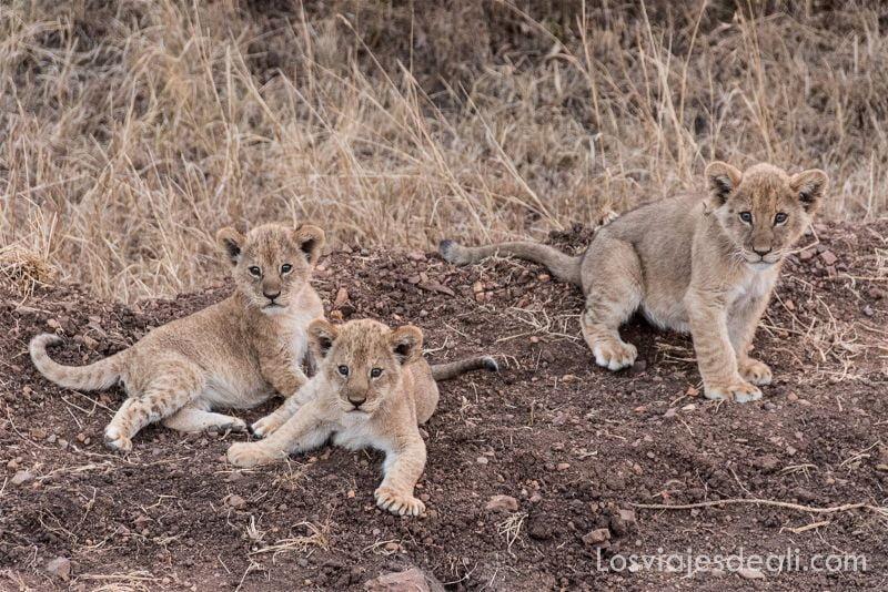 amaneceres del mundo tres cachorros de león sobre un montón de tierra mirando al frente