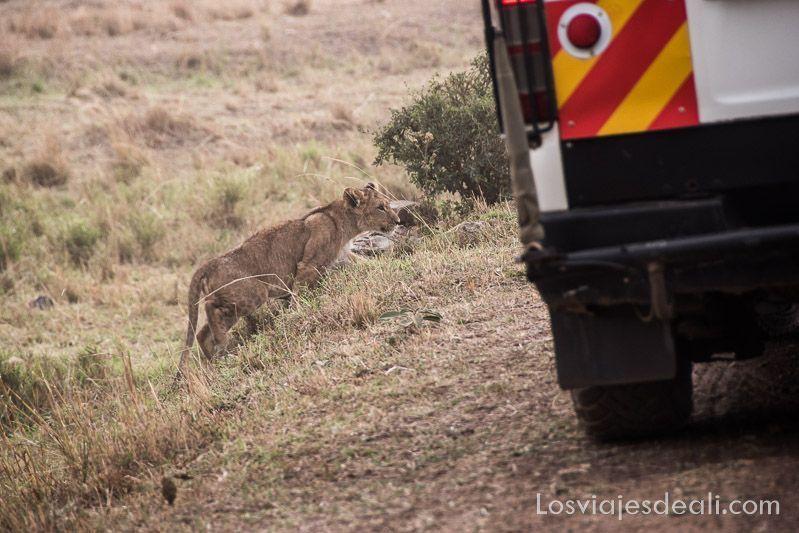 dos días en masai mara cachorro león