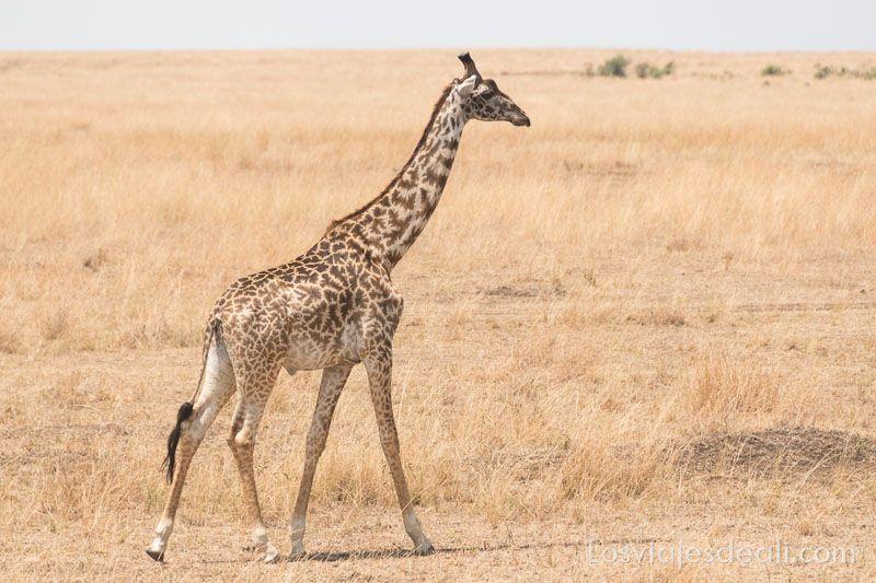 dos días en masai mara jirafa