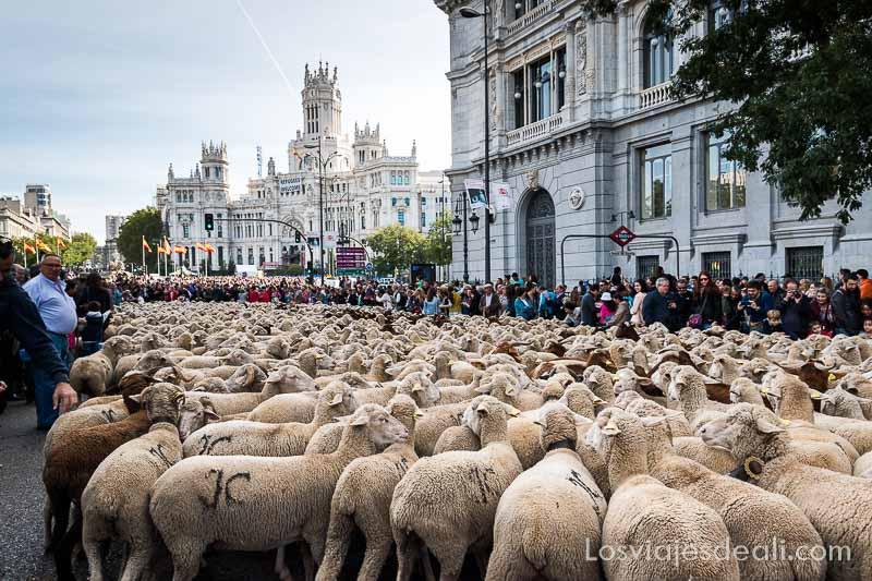 fiesta de la trashumancia madrid ovejas en alcalá