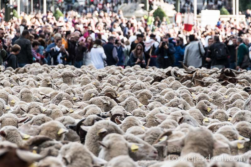 fiesta de la trashumancia madrid ovejas y gente