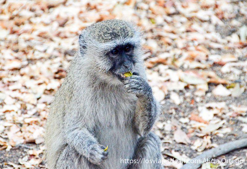babuino junto a las cataratas victoria