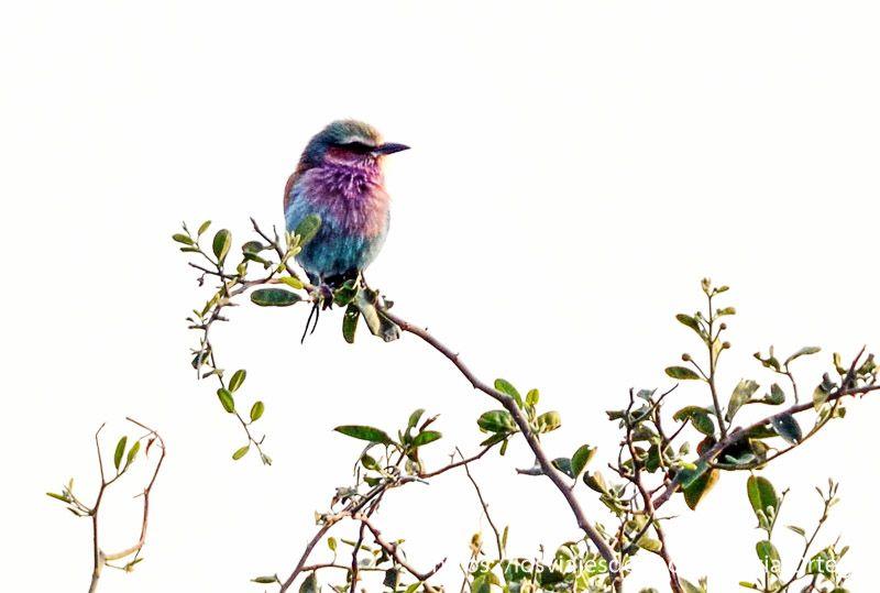 pajaro multicolor en parque nacional de chobe