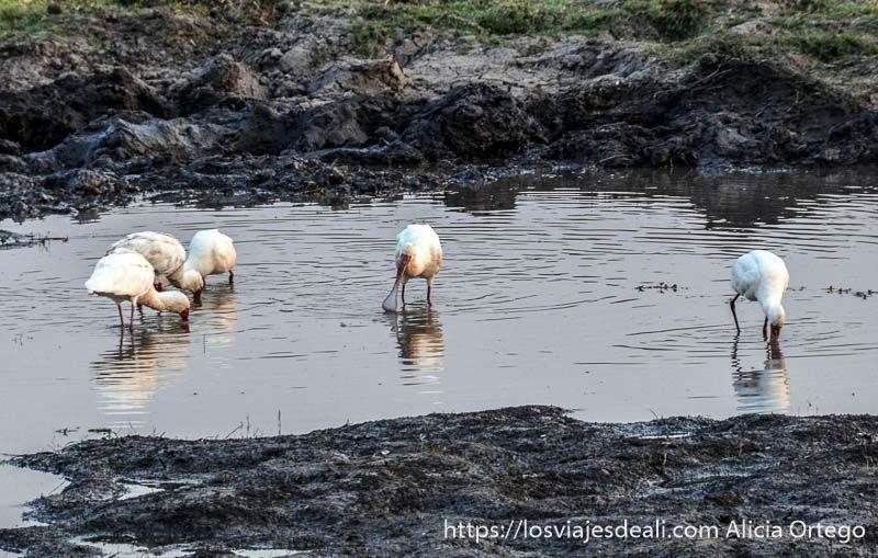 patos espátula en parque nacional de chobe