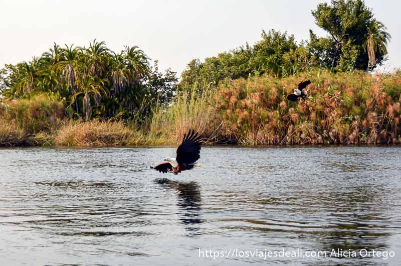 ecosistema del delta del okavango águilas pescando