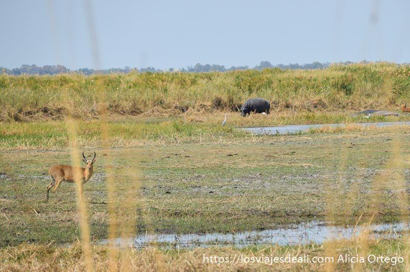 hipopótamo en reserva de mahango cerca de rundu