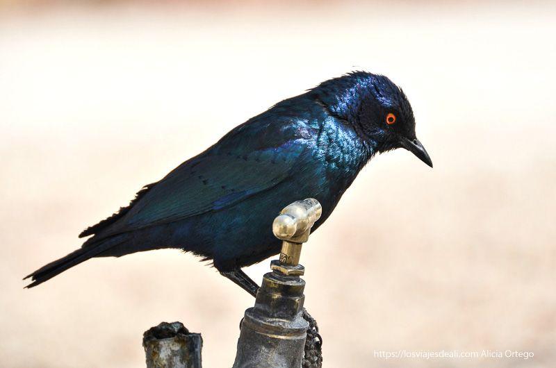 pájaro metálico en Etosha