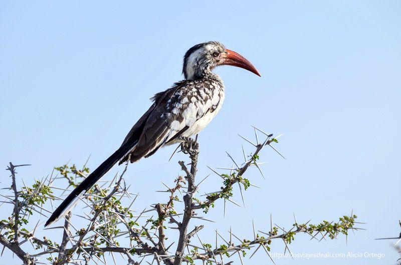 pájaro kalaw africano en Etosha