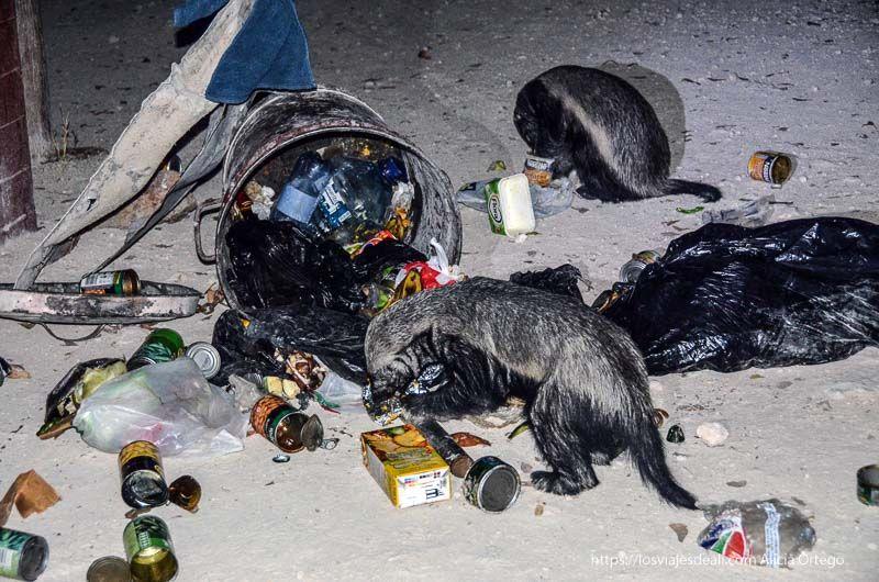 mangosta revolviendo la basura en Etosha