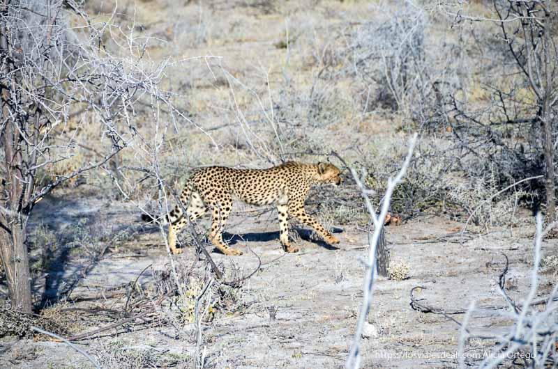 guepardo en Etosha