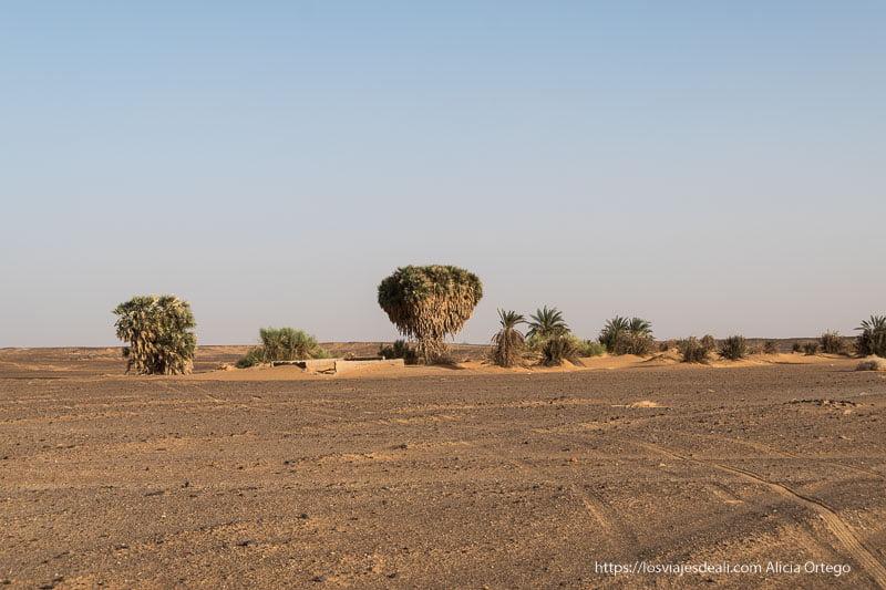 enormes palmeras en el desierto de Sudán cerca de Kawa