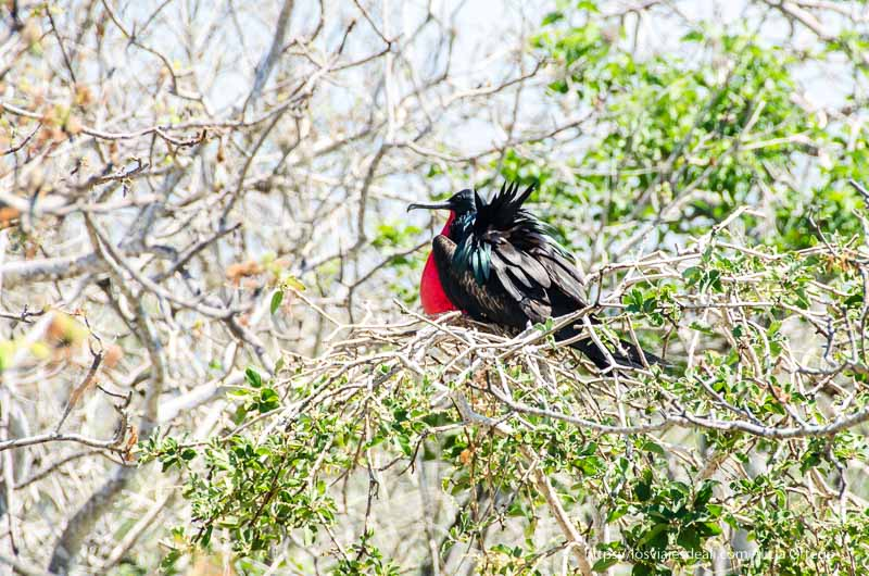 tijereta con pecho rojo hinchado excursión a isla seymour