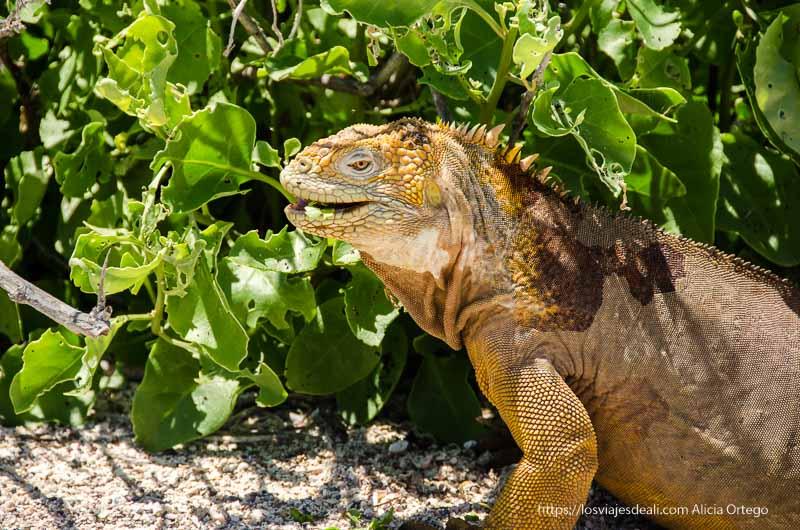 iguana amarilla en excursión a isla seymour