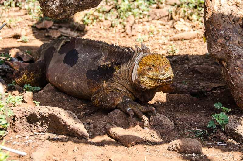 iguana amarilla mirando a la cámara en excursión a isla seymour