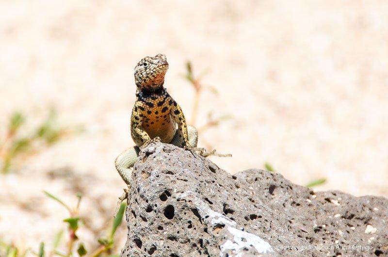 lagartija asomando tras una piedra en isla seymour