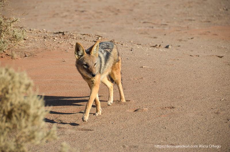 zorro del desierto en Namibia