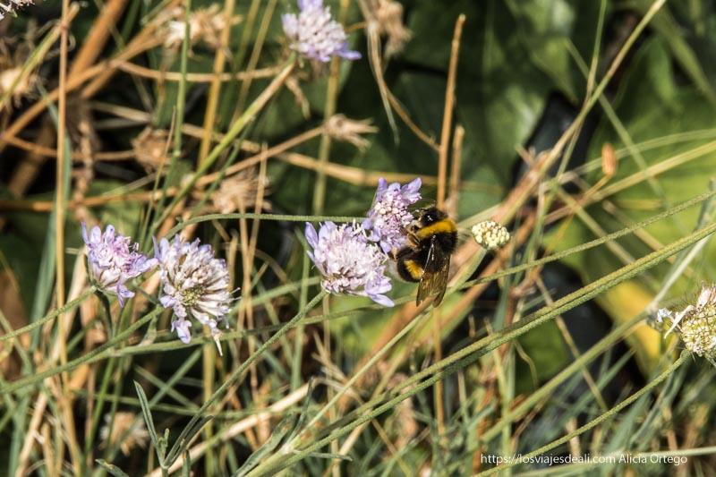abejorro libando en flor silvestre de color malva