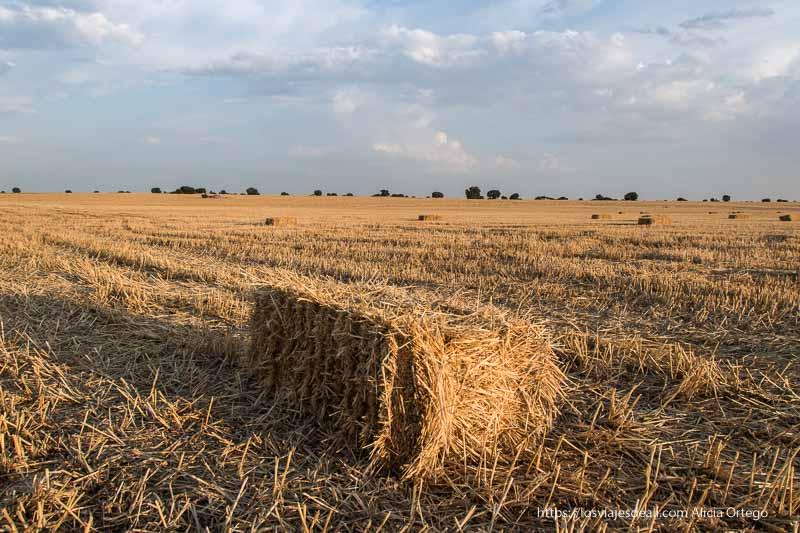 campos de labor segados con alpaca de cereal en primer plano