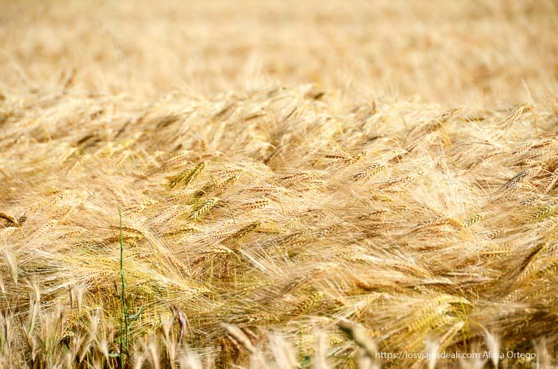 espigas de trigo a punto para cosechar campos de castilla