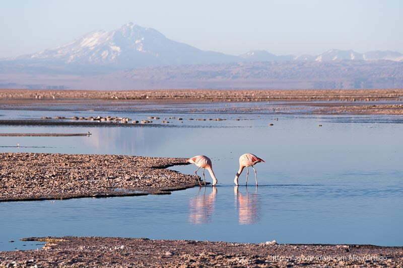 flamencos en el salar viajar al desierto de atacama