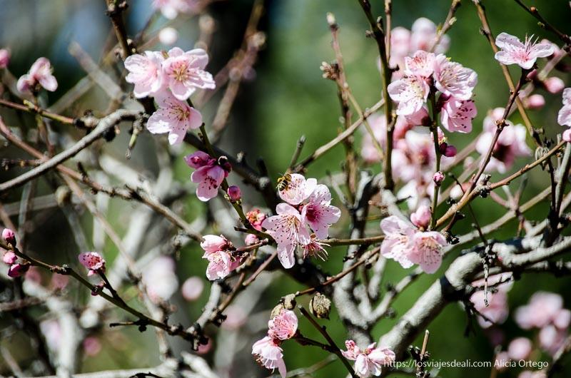 flores de almendro con abeja real Jardín Botánico de Madrid