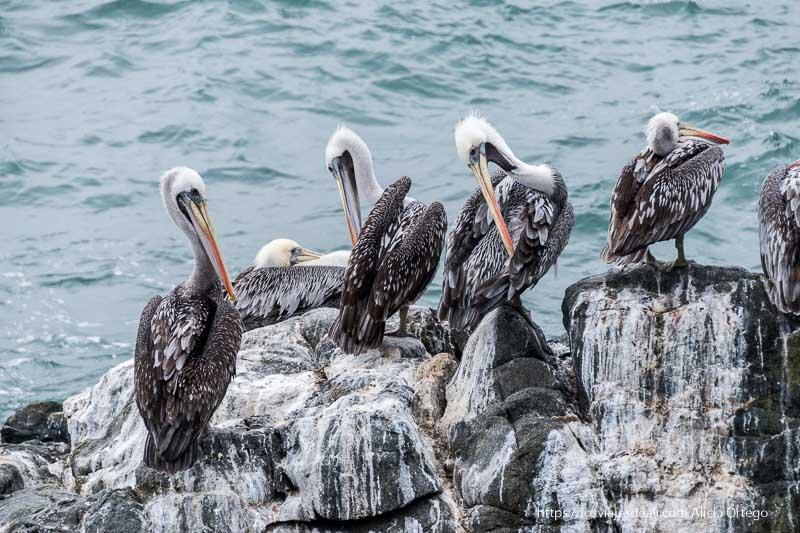 4 pelícanos en las rocas Viña del mar y valparaíso