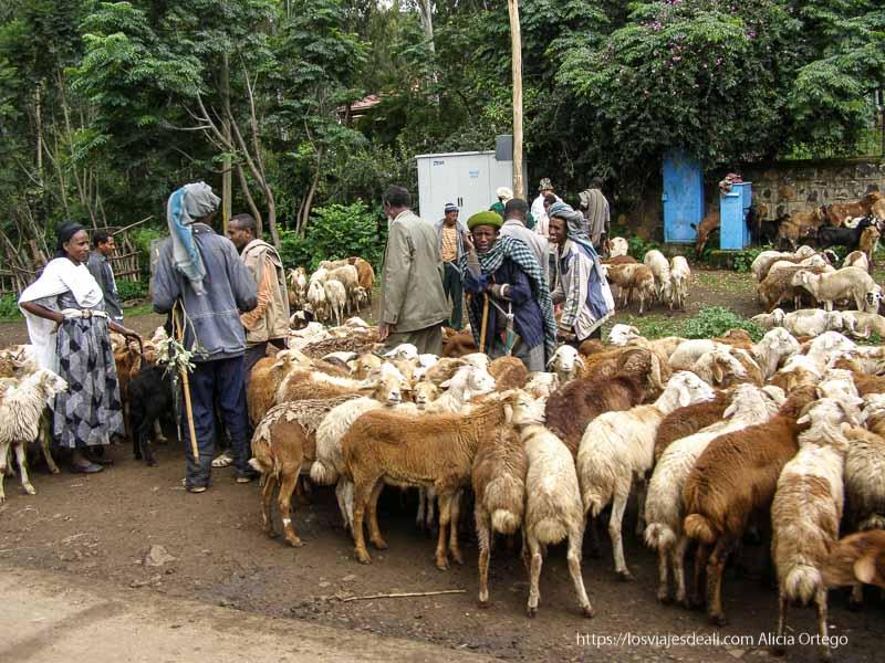 hombres con rebaño de ovejas de camino a gondar