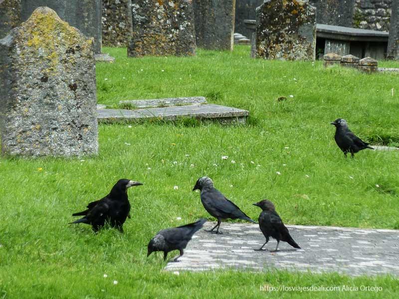 cuervos en cementerio de kilkenny