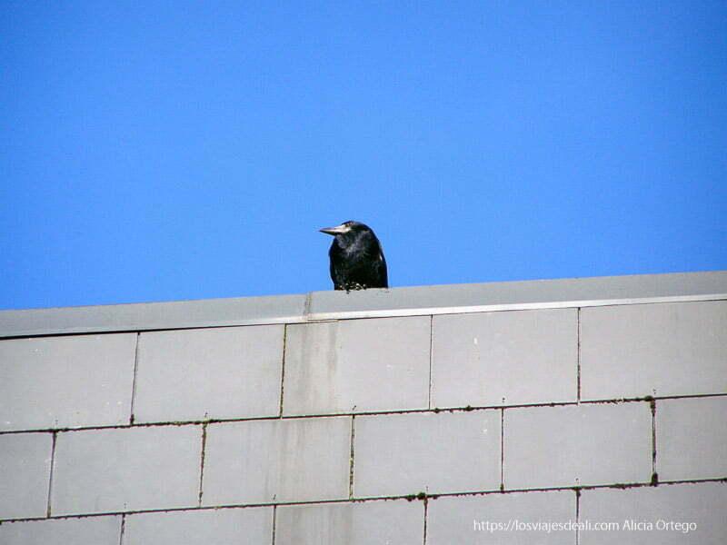 cuervo posado en muro gris en kilkenny