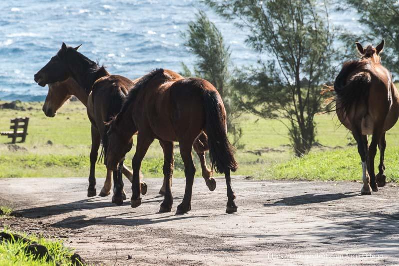 4 caballos sueltos en un camino cómo es viajar a Isla de Pascua
