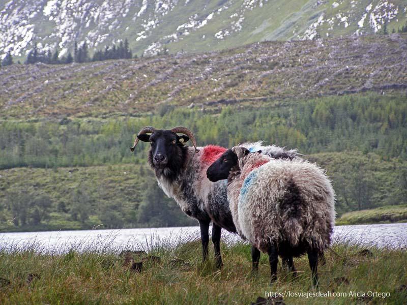 ovejas con mucha lana y cuernos de connemara