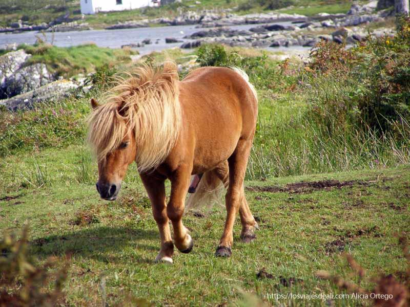pony de connemara