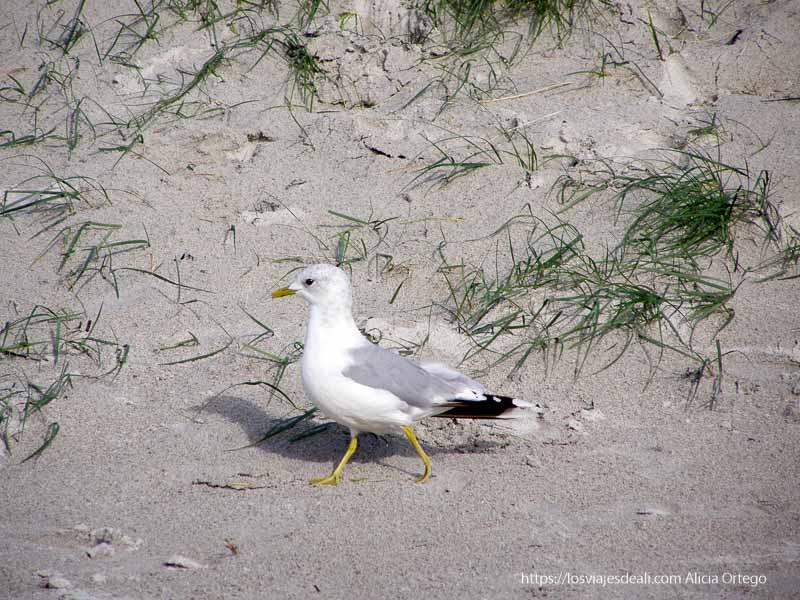 ave blanca con patas amarillas en playa