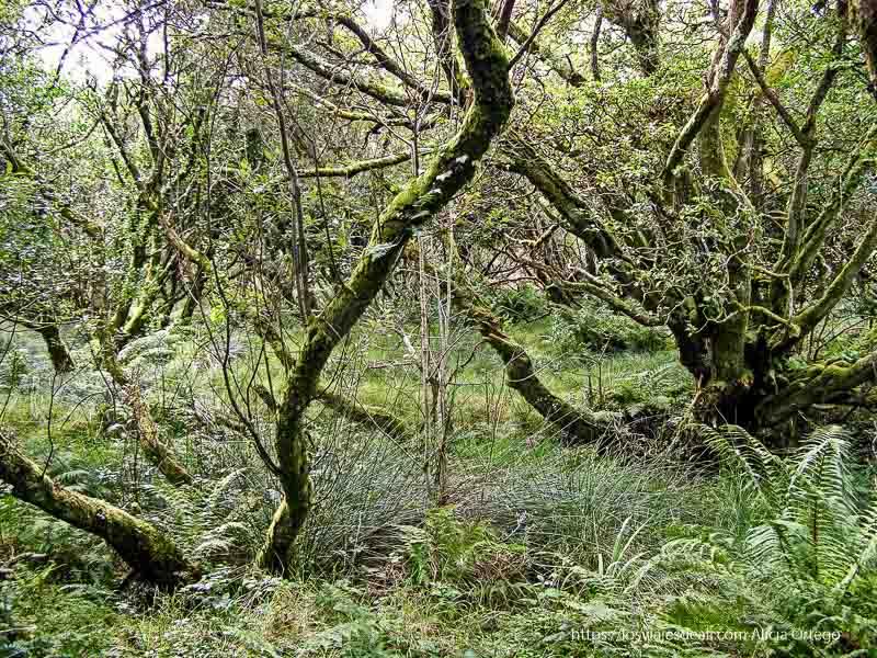 bosque de connemara