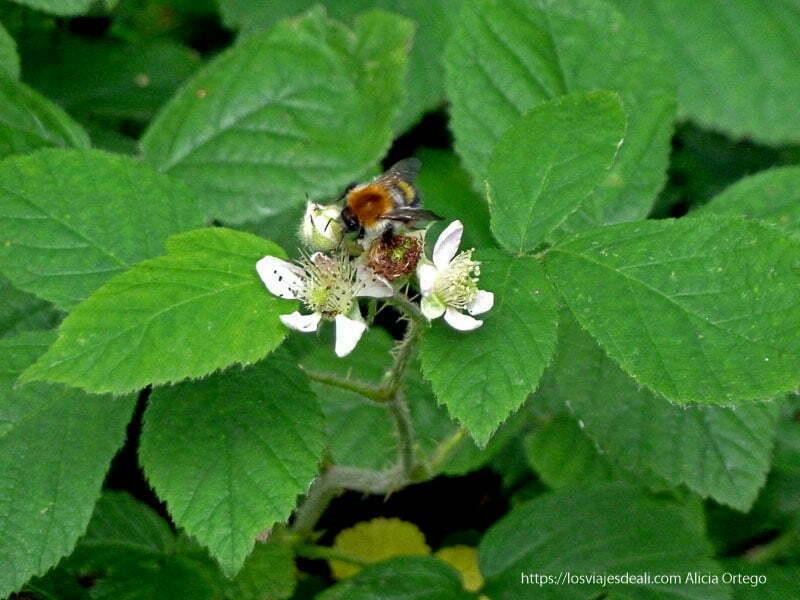 abeja libando en flores de mora en glendalough