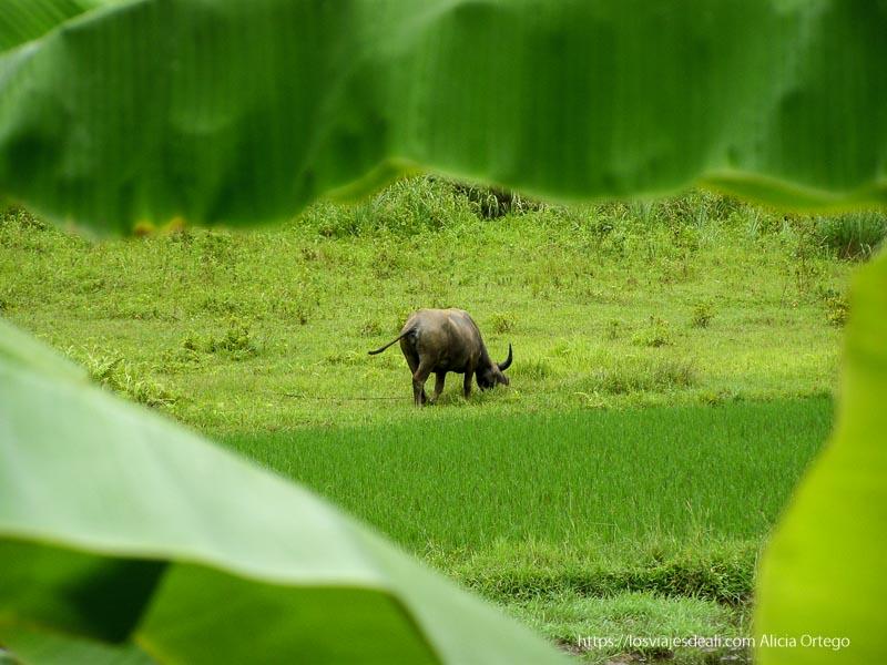 búfalo pastando junto a un arrozal la bahía de ha long