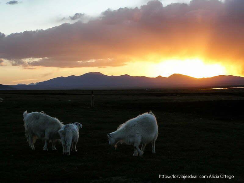tres cabras blancas con el atardecer al fondo en el lago song kol