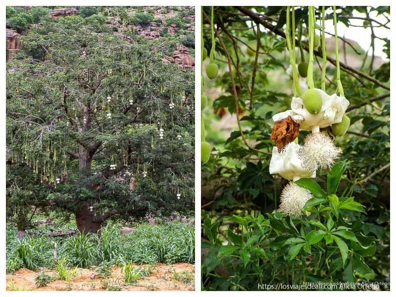 enorme baobab lleno de flores blancas colgando como bolas de navidad pais dogon