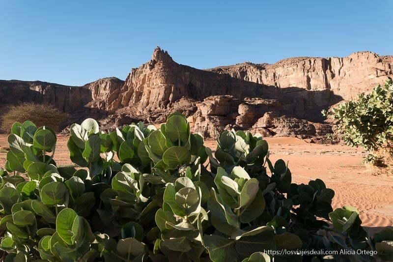 plantas suculentas verdes con paredes de roca al fondo viaje a argelia