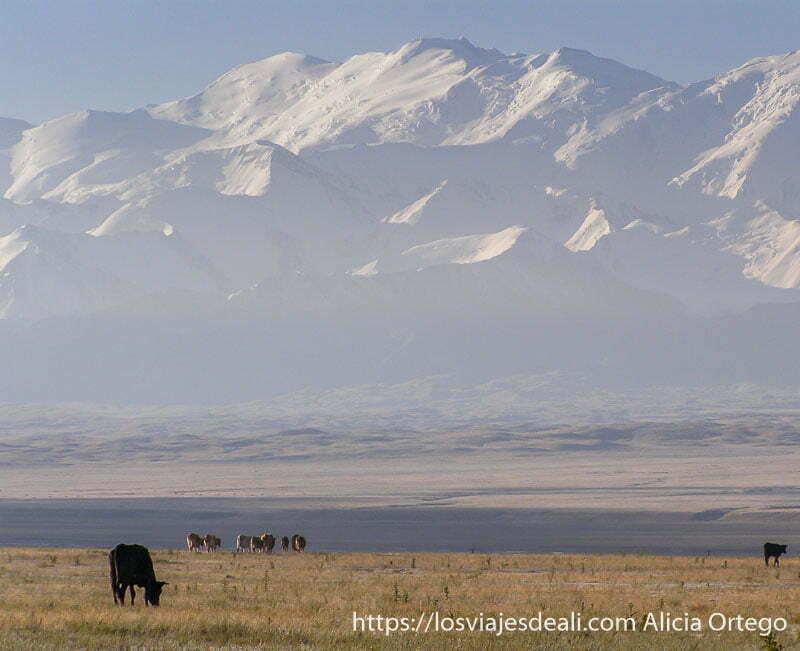 montañas tien shan nevadas y vacas pastando campo base del pico lenin