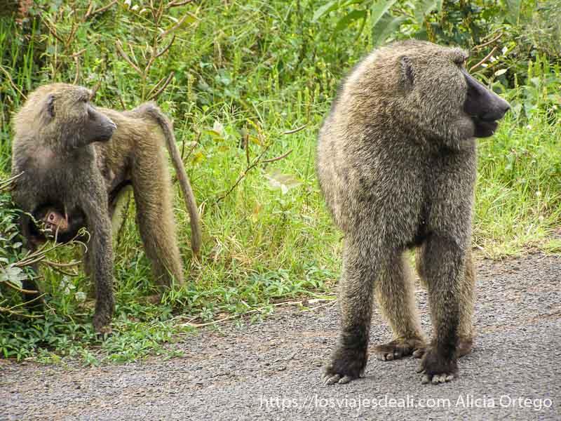 una pareja de simios, la hembra con su cría en la tripa en el lago chamo