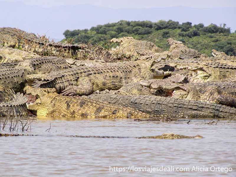 montón de cocodrilos enormes, todos con la boca abierta, fuera del agua en el lago chamo