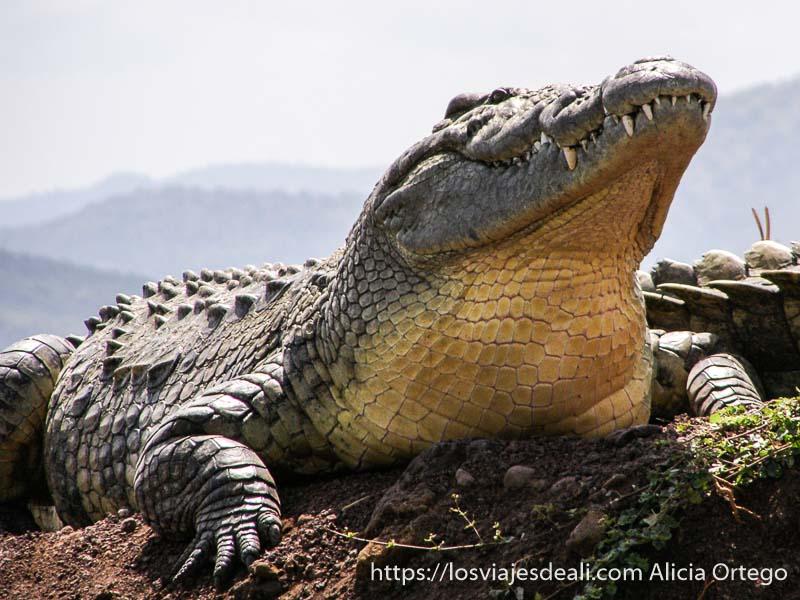 cocodrilo enorme fuera del agua con sus colmillos saliendo de la boca en el lago chamo