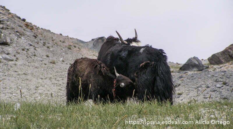 un yak amamantando de su madre junto al lago karakul