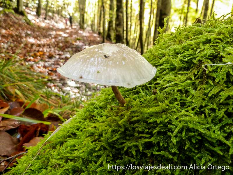 hongo blanco casi transparente saliendo de musgo verde en selva de irati