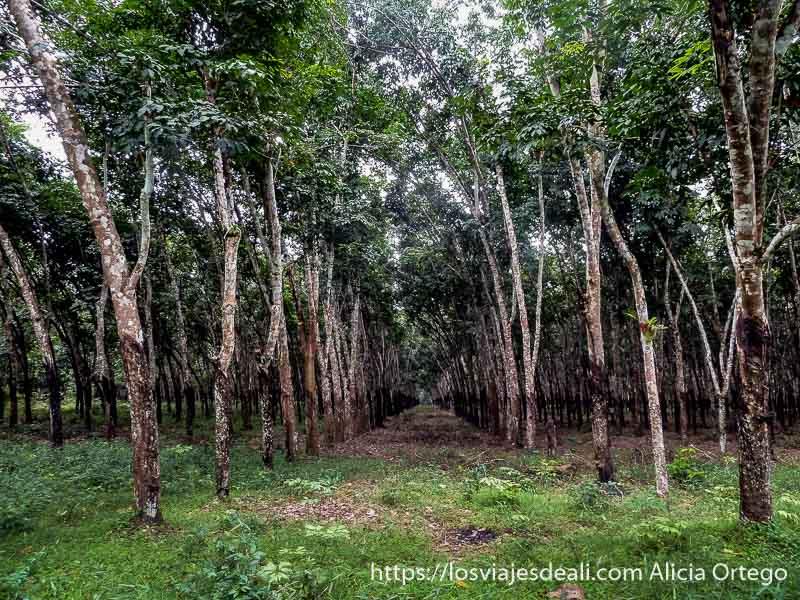plantación de caucho con árboles en perfectas hileras en buea
