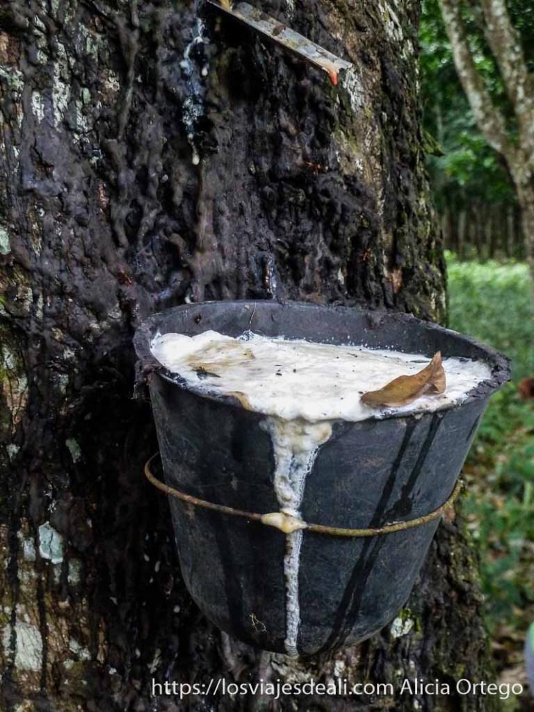recipiente sujeto al tronco de un árbol lleno de caucho buea