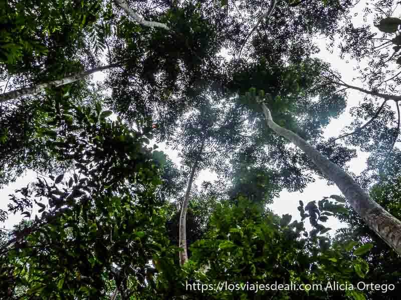 árboles muy altos vistos desde el suelo en camerún