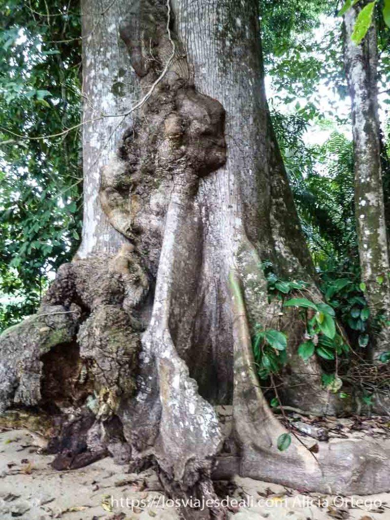 tronco de árbol ceiba con forma de cabeza de mujer costa del sur de camerun